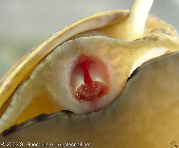 Garden snail anatomy